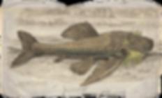 loricariidae.info