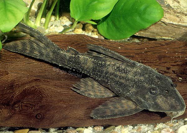 Panaqolus sp. L329