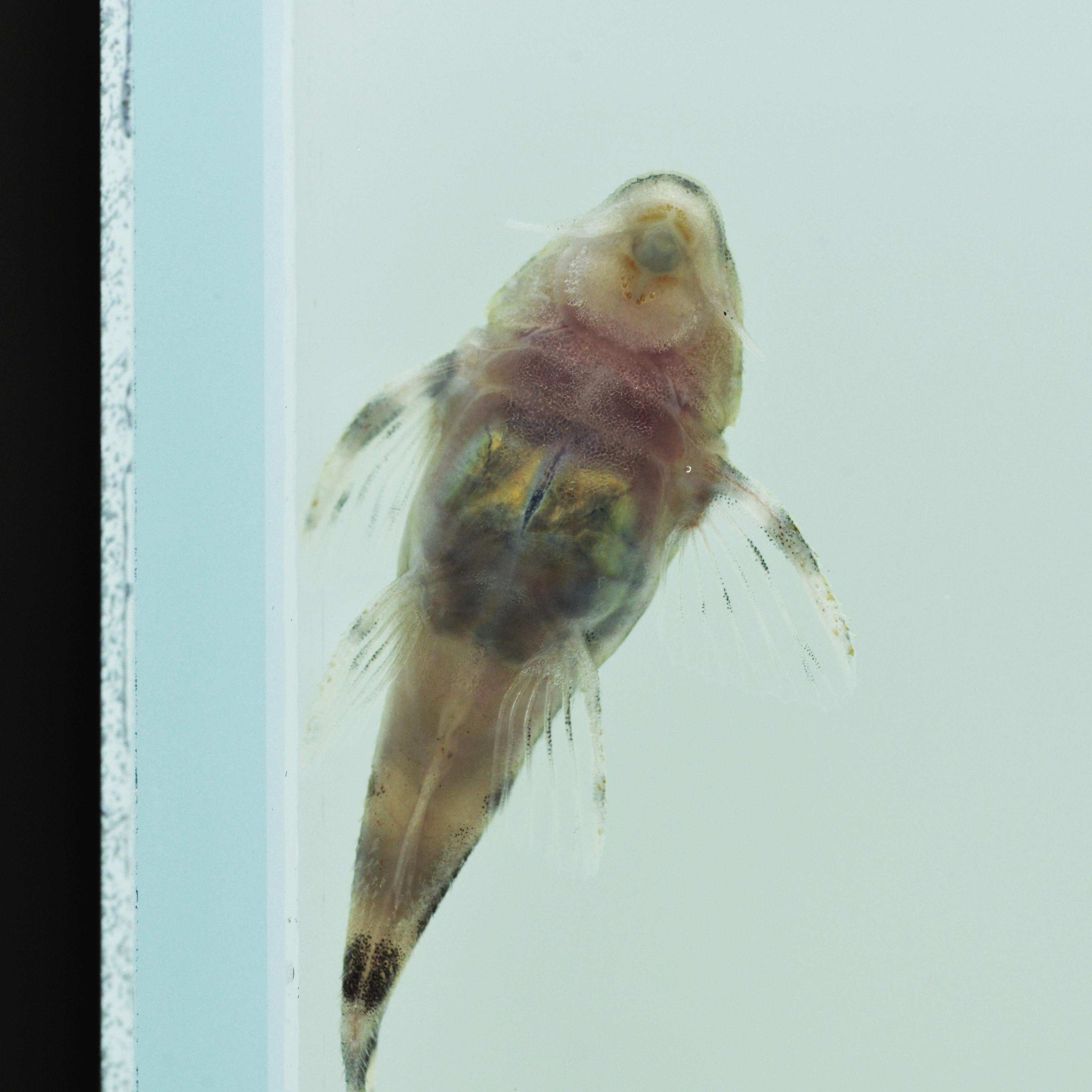 Hypancistrus sp. L470, F1