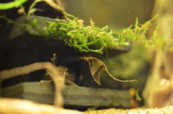 Hemiloricaria eigenmanni