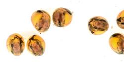 "Loricaria sp. ""Atabapo"", eggs day 10"