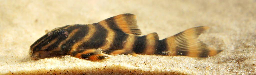 Panaqolus sp. L169