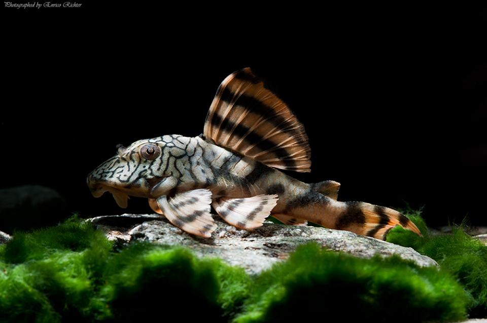 Peckoltia sp. L135