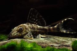 Panaque schaeferi L203