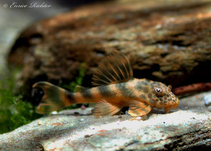 Ancistomus sp. L387