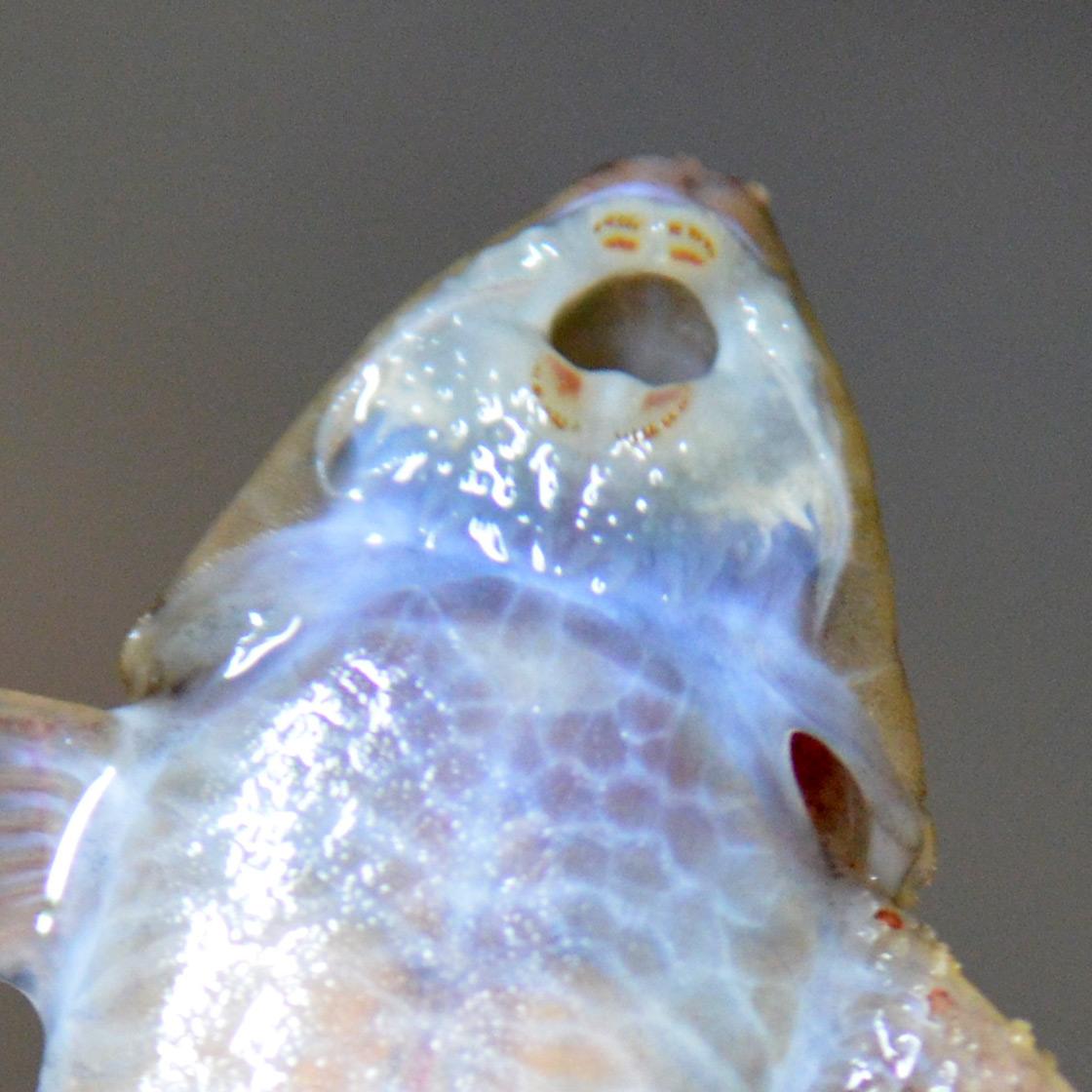 Hemiloricaria formosa