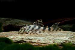 Peckoltia sp. L15