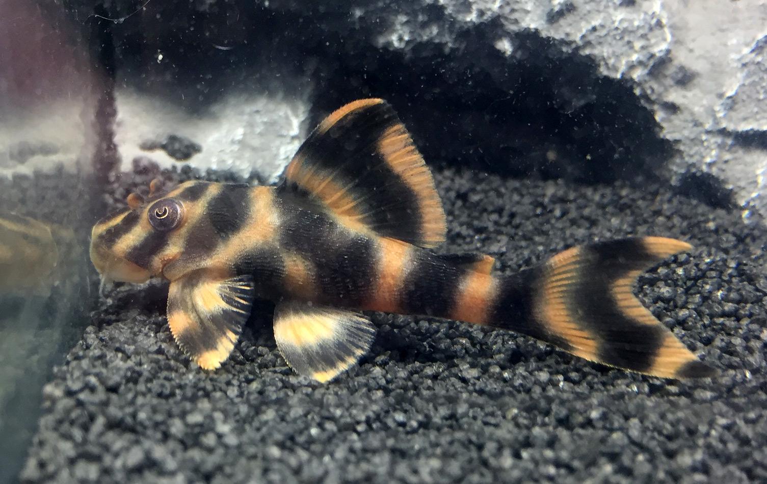 Peckoltia sp. L209, F1