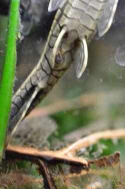 Farlowella platorynchus, female