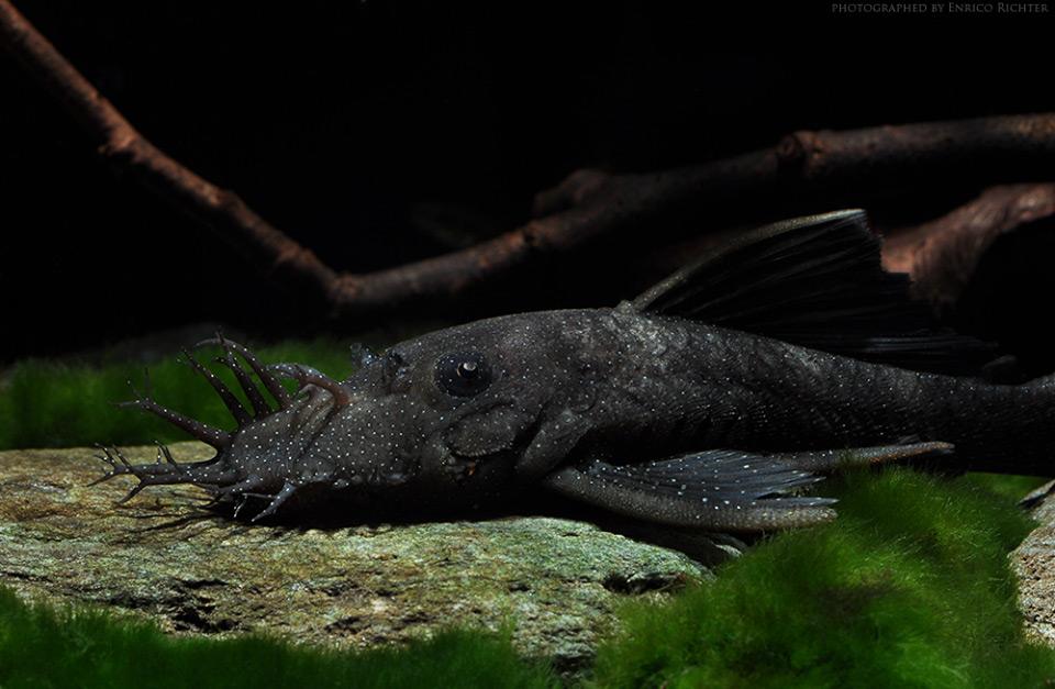 Ancistrus dolichopterus L183