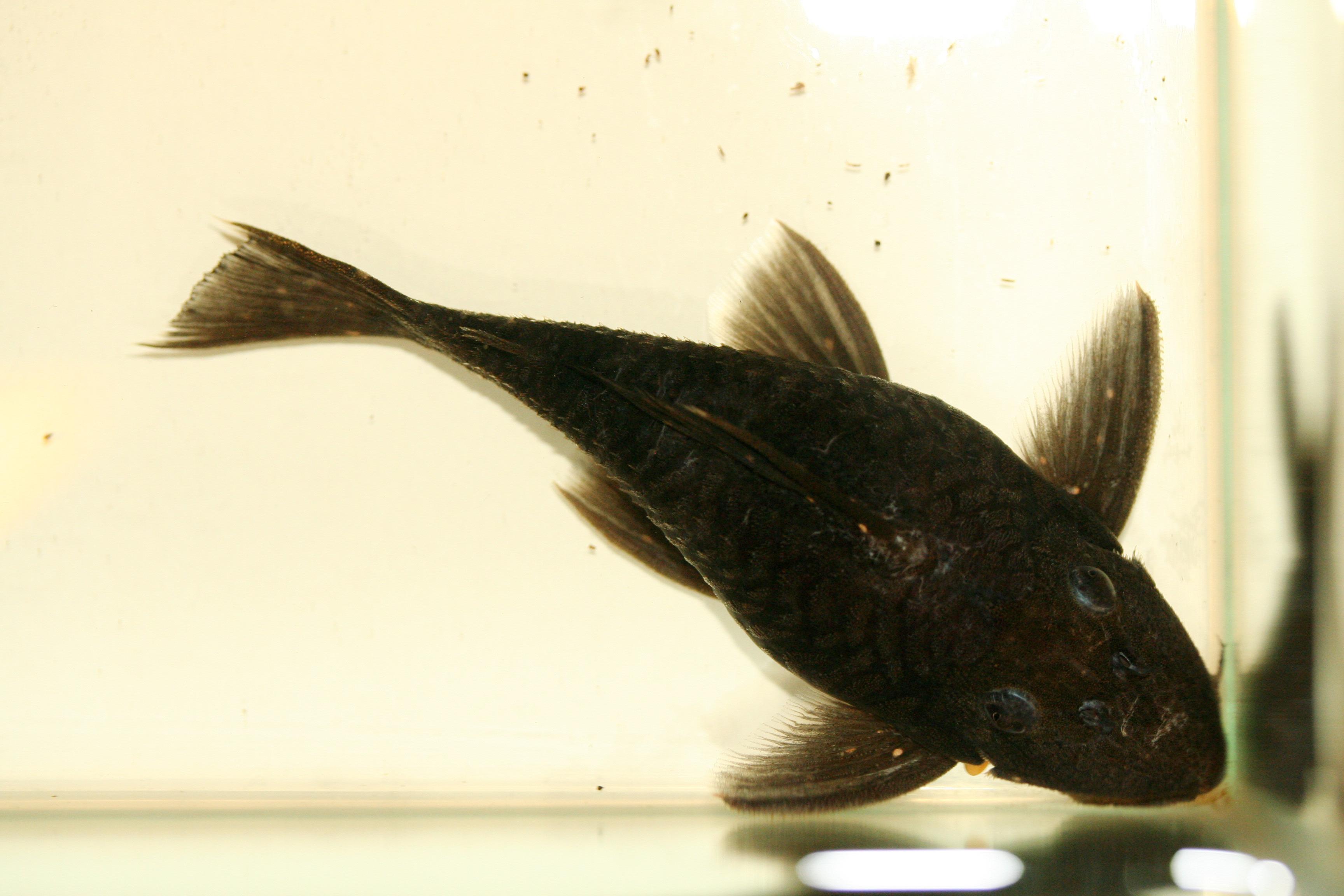 Leporacanthicus sp. L241, female