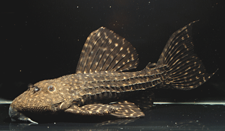 Pseudacanthicus sp. 'Alenquer'
