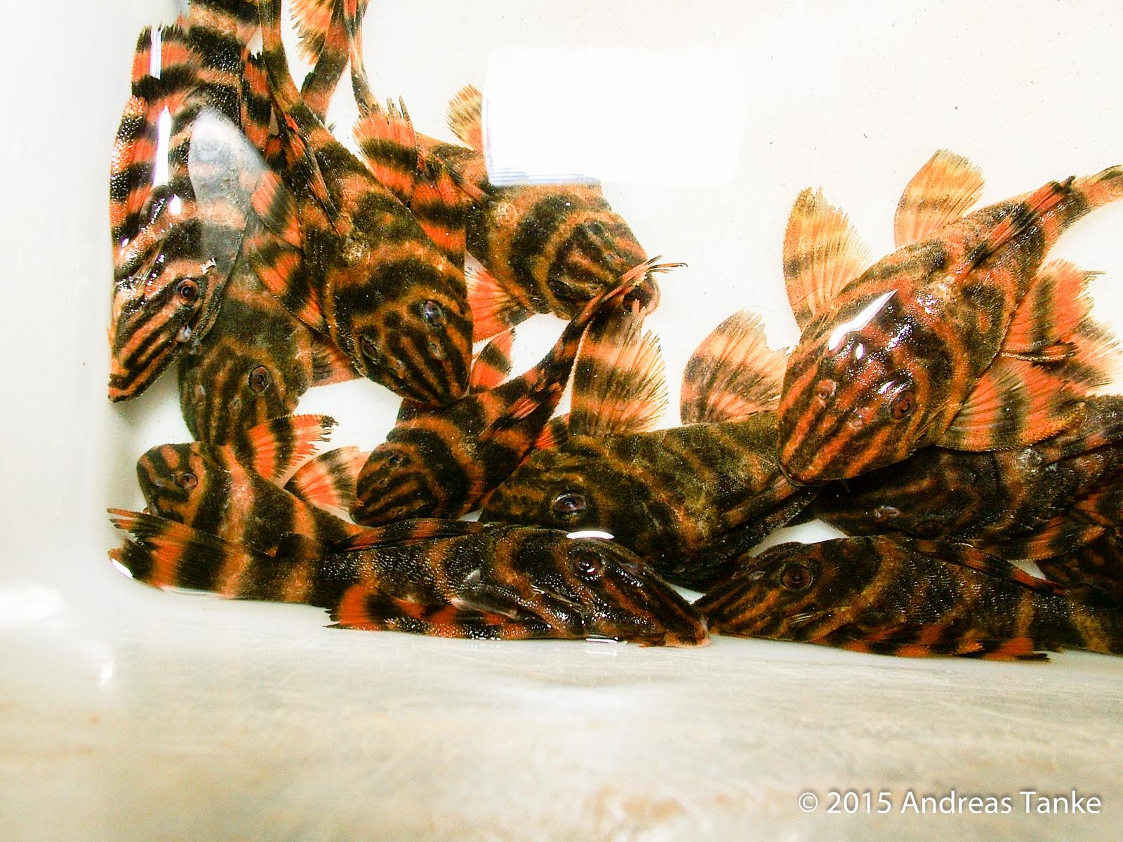 Panaqolus claustellifer L306