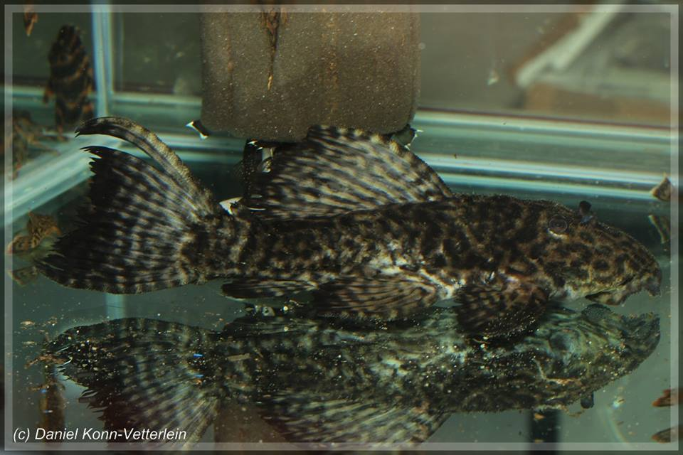 Pseudacanthicus sp. L380