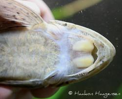 Loricariichthys maculatus