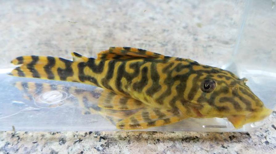 Peckoltia sp. L377