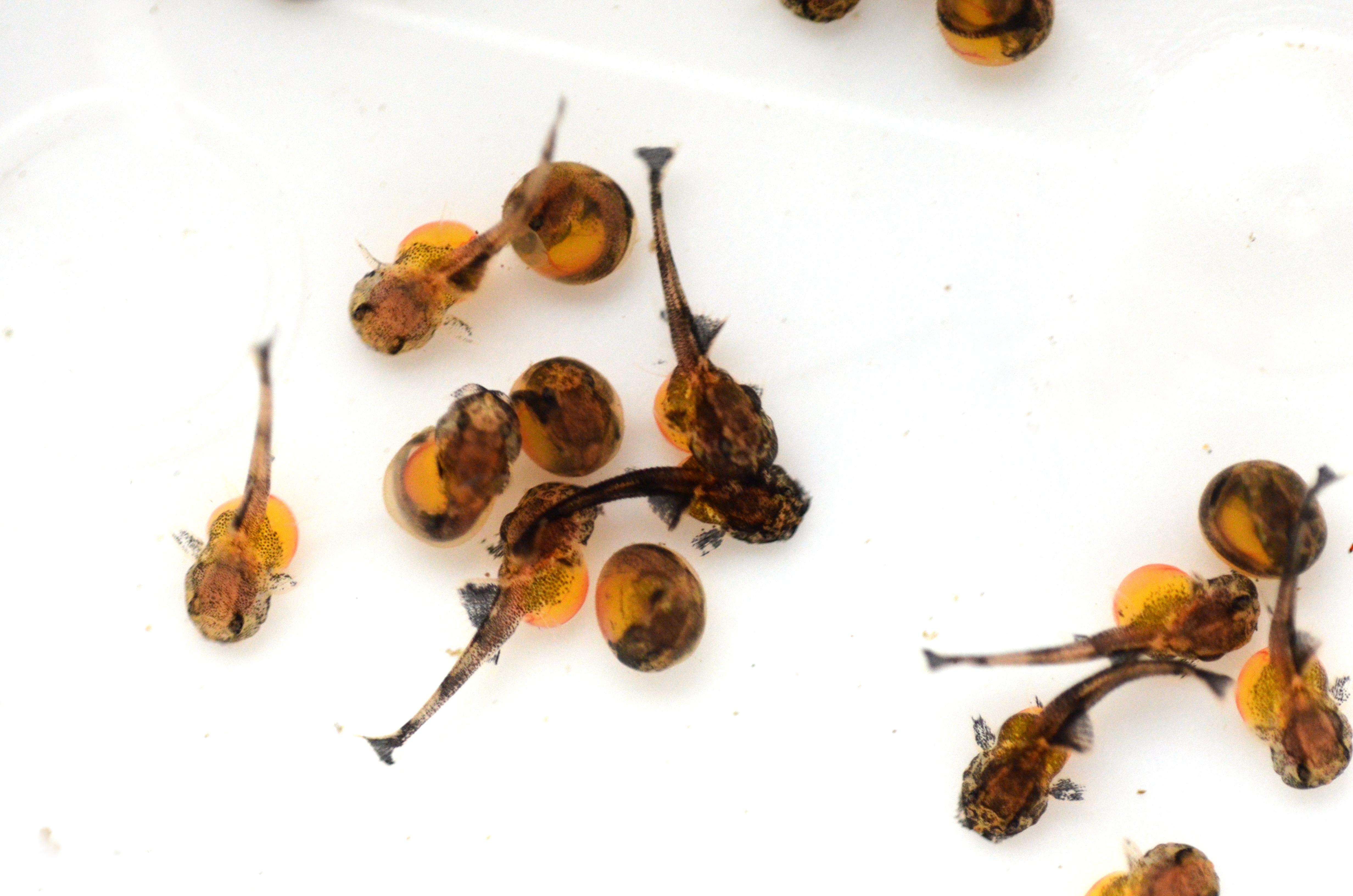 "Loricaria sp. ""Atabapo"", day 12"