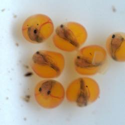 "Loricaria sp. ""Atabapo"", eggs day 6"