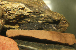 Pseudacanthicus sp. L65