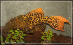 Pseudacanthicus sp. L273