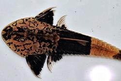Pseudohemiodon sp. «Chameleon»