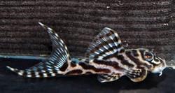 Hypancistus sp. L400