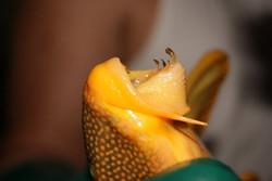 Scobiancistrus auratus L14