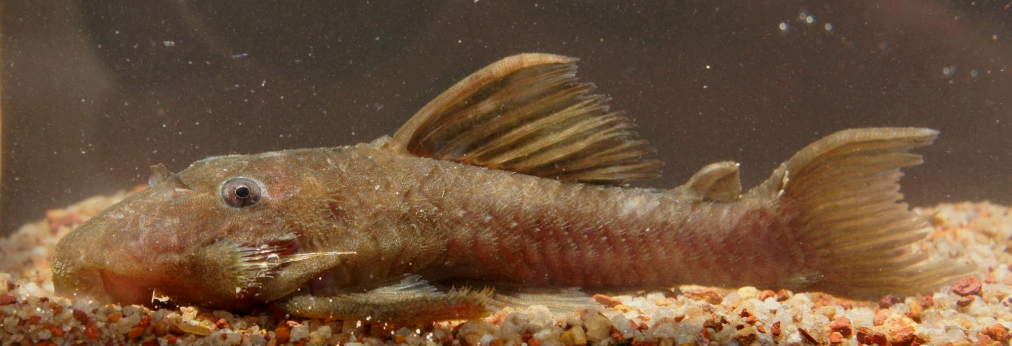 """Spectracanthicus"" immaculatus L269"