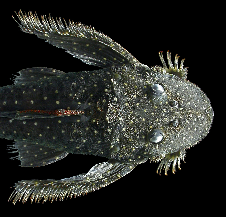 Pseudolithoxus anthrax L235