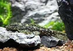Hopliancistrus sp. L17
