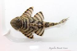 Panaqolus sp. L374