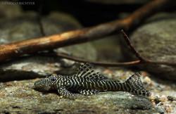 Pseudolithoxus tigris L257