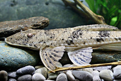 Loricarichthys maculatus