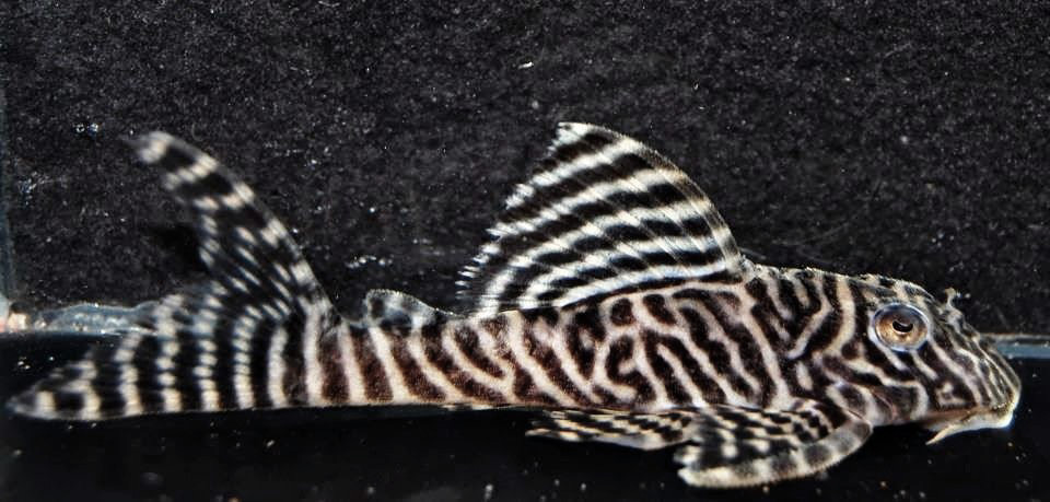 Hypancistrus sp. L66