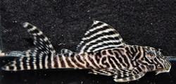 Hypancistrus sp. L66