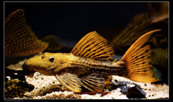 Pseudacanthicus sp. L96