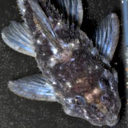 Micracanthicus vandragti L280