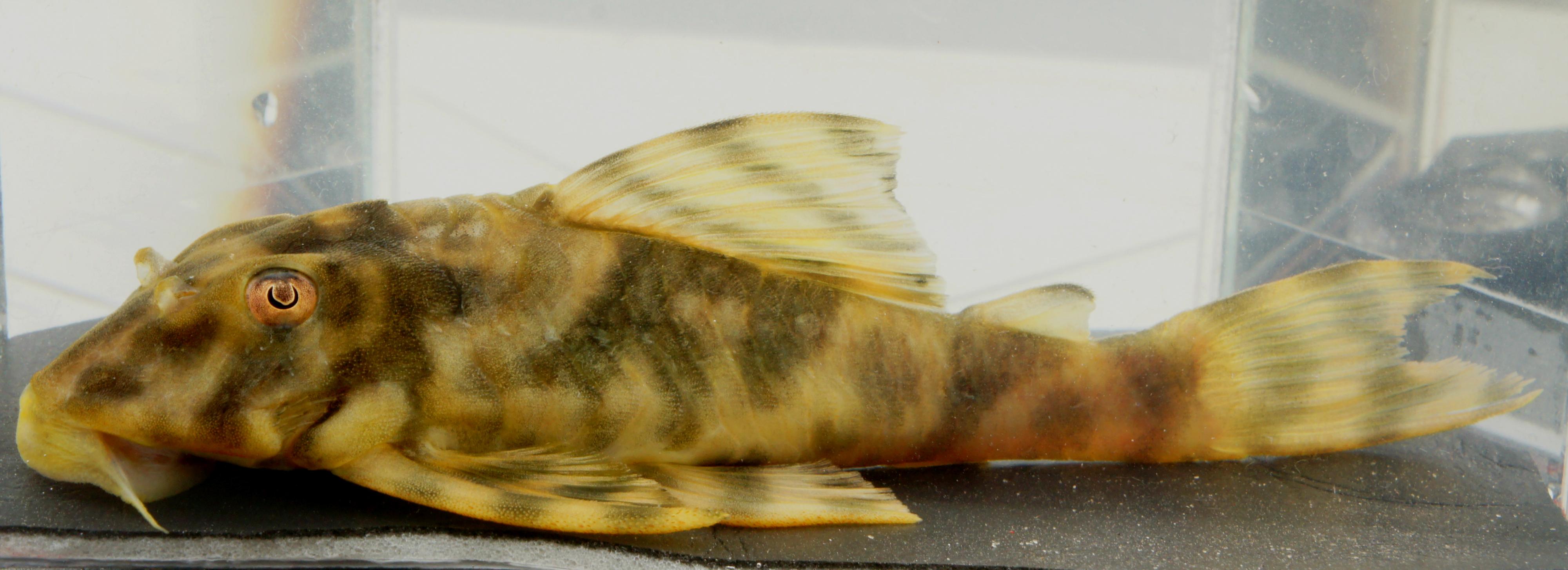 Peckoltia sp. L477