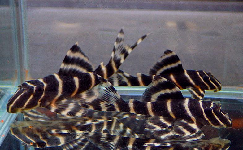 Panaqolus albivermis L204