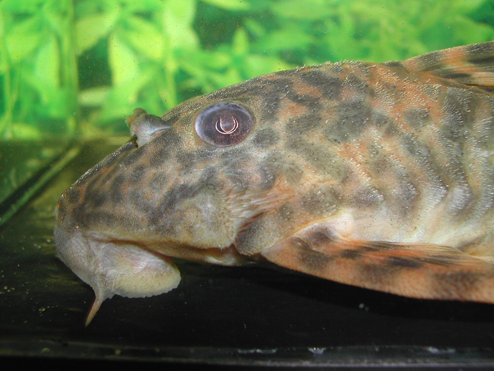 Peckoltia lineola L202