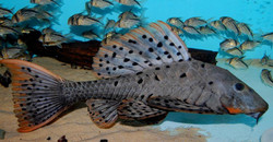 Pseudorinelepis sp. L95