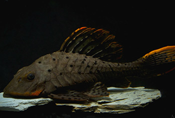 Pseudorinelepis sp. L95