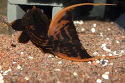 Pseudacanthicus pirarara L25
