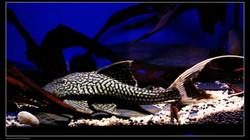 Panaque Bathyphilus L90