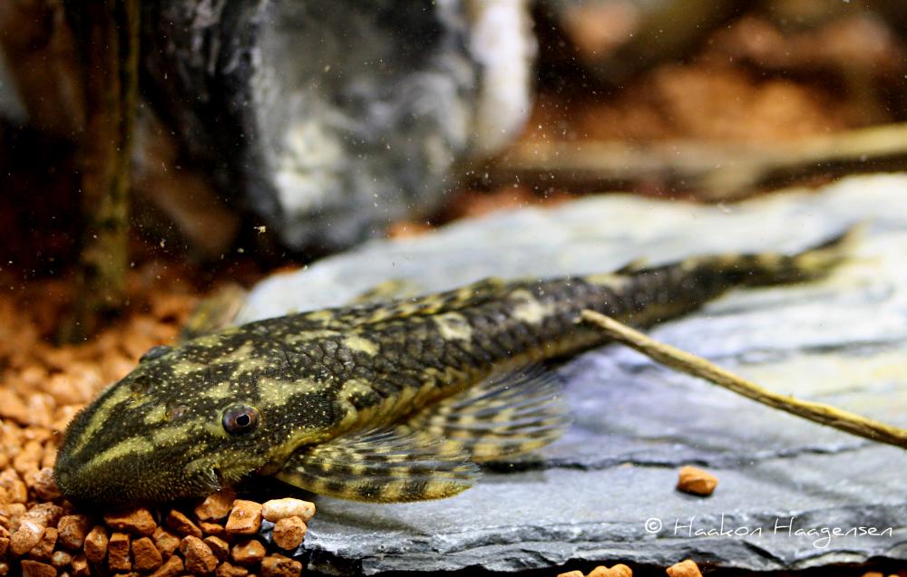 Lasiancistrus tentaculatus L92