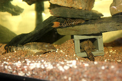 Pseudacanthicus sp. L114