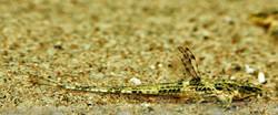 Hemiloricaria lanceolata