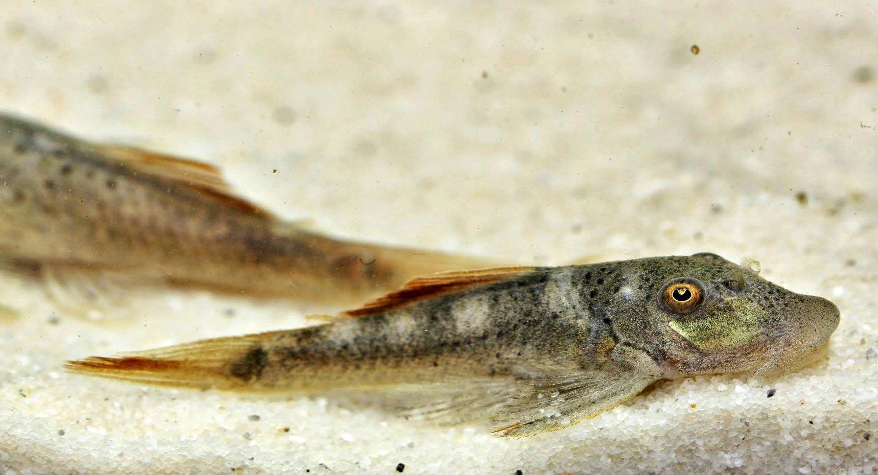 Chaetostoma sp. L276