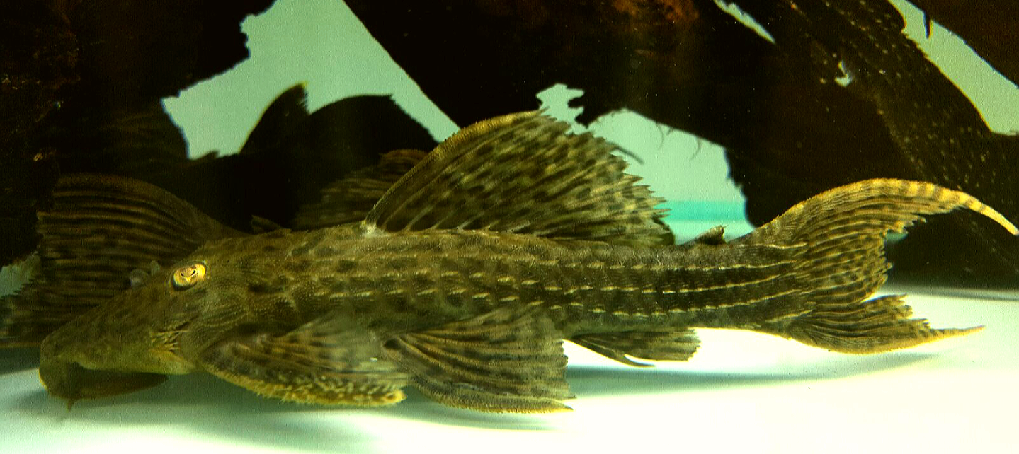 Pseudacanthicus sp. L79