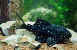 Panaqolus albomaculatus LDA031
